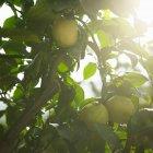 Gros plan de mûres pommes vertes et feuillage sur arbre — Photo de stock