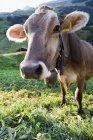 Закрыть вверх выстрел корову головы — стоковое фото