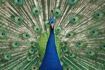 Павлин показывает перья — стоковое фото