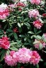 Arbusto di fiore di rododendro con il petalo di rosa — Foto stock