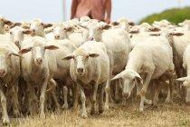 Пастух, идя после стадо овец в Сардинии, Италия — стоковое фото