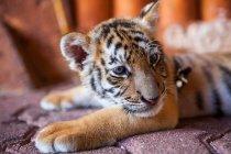 Captive baby tiger — Stock Photo