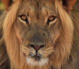 Löwe-Porträt im Kgalagadi Transfrontier Park, Afrika — Stockfoto