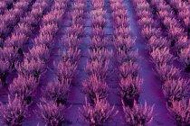 Vista de las plantas de brezo creciendo en hileras - foto de stock