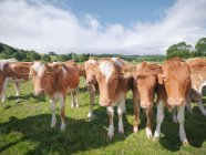 Bezerros de Guernsey em campo verde — Fotografia de Stock