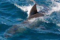 Dorsal fin of Shark in water — Stock Photo