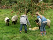 Girl and boy picking apples with sheep — Stock Photo