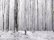 Bare trees under snow — Stock Photo