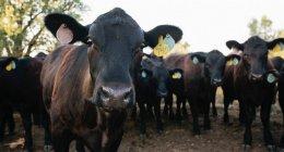 Стадо телят коровы с номером метки в ушах — стоковое фото