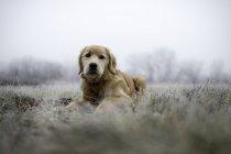 Золотой ретривер лежа на Морозные поля и глядя на камеру — стоковое фото