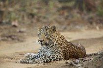 Leopard на Satpura Національний парк — стокове фото