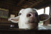 Cabra engraçada olhando acima da cerca na fazenda — Fotografia de Stock