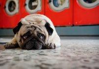 Собака-мопс лежит на полу прачечной и смотрит в сторону — стоковое фото