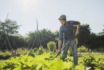 Gärtner hackt im Zucchini-Beet — Stockfoto