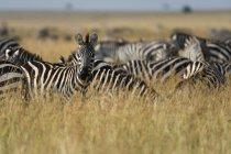 Ebenen Zebras zu Fuß in der Masai Mara, Kenia, Afrika — Stockfoto