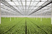 Rows of plants growing in greenhouse — Stock Photo