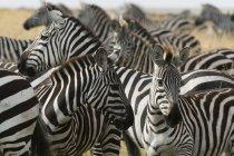Herde von Ebenen Zebras in Masai Mara, Kenia, Afrika — Stockfoto