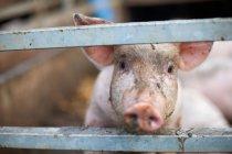 Cerdo de inspeccionar de cerca - foto de stock