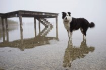 Dog standing and reflecting in lake water — Stock Photo
