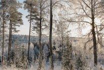 Bosque cubierto de nieve con árboles congelados - foto de stock