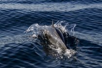 Pantropical Dolphin breaching for air, Port St. Johns, South Africa — Stock Photo