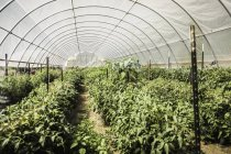 Diminishing perspective view of plants growing in polytunnel — Stock Photo