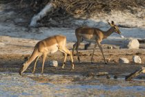Zwei Impalas trinken in Fluss, Savuti Marsh, Chobe Nationalpark, Botswana — Stockfoto