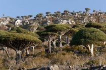 Forêt de sang dragon près de Dixsam — Photo de stock