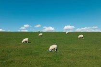 Pecore al pascolo nel campo verde durante il giorno — Foto stock