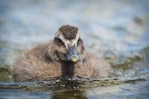 Eider Duckling on water — Stock Photo