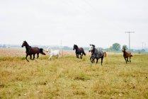 Fünf Pferde galoppieren tagsüber über über das Feld — Stockfoto