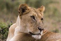 Ritratto di Leonessa al Masai Mara, Kenya, Africa — Foto stock