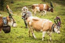 Коровы в головных уборах — стоковое фото
