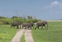 Африканських слонів, перетинаючи грунтовій дорозі на полі — стокове фото