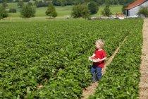 Fragole di picking ragazzo nel campo — Foto stock