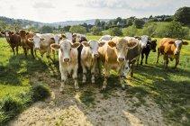 Porträt einer Rinderherde auf der grünen Wiese des ländlichen Raums — Stockfoto