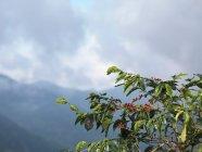 Granos de café en árbol - foto de stock