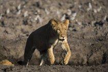 Вид курсує левиця розмитим фоном, Ботсвана — стокове фото