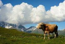 Корова випасу на пагорбах, Mazeri села, Сванеті, Грузія — стокове фото