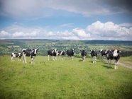 Vacas pastando no campo — Fotografia de Stock