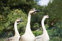 Tres gansos chinos en el Parque - foto de stock