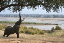 Afrikanischer Elefant, der bis zur Akazie reicht, Mana Pools Nationalpark, Zimbabwe, Afrika — Stockfoto