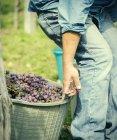 Recortar foto de joven agricultor hombre tirando canastas de uvas, Premosello, Verbania, Piemonte, Italy - foto de stock