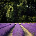 Rows at field of lavender — Stock Photo