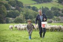 Mature farmer and grandson feeding sheep in field — Stock Photo