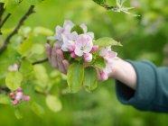 Gros plan vue partielle de la main tenant la fleur du pommier — Photo de stock