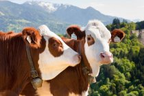Kühe, die Ohrmarken tragen — Stockfoto