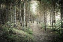 Percorso sterrato tra alberi di pino alti nella foresta — Foto stock
