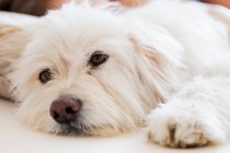 White dog resting — Stock Photo