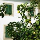 Árvore de fruta ao ar livre, limões, crescendo nos galhos com folhas verdes — Fotografia de Stock